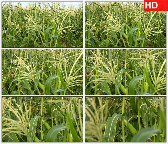 ZY1803玉米杆特写农作物农业高清实拍视频素材高清实拍视频素材