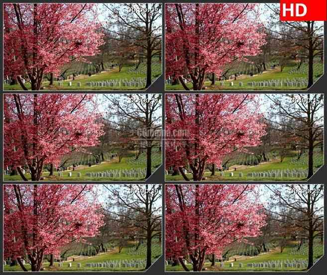 BG3743清明扫墓粉色花束led大屏背景高清视频素材