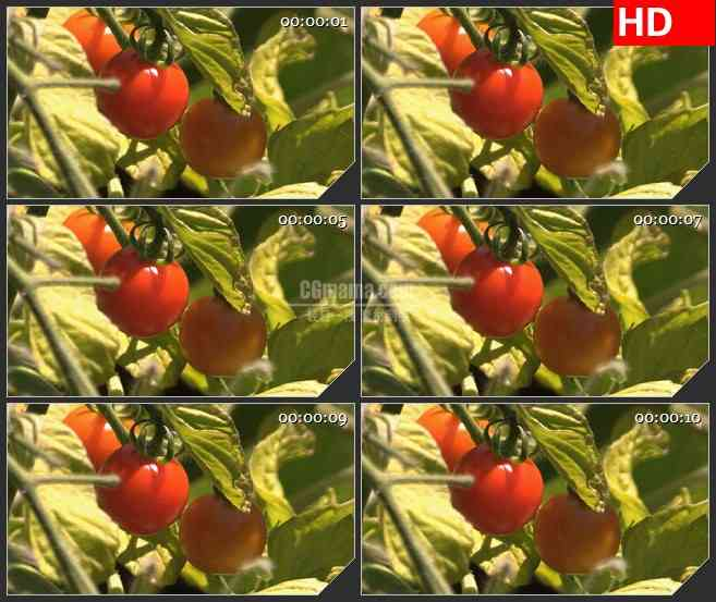 BG3936自然实景 成熟的西红柿 番茄led大屏背景高清视频素材