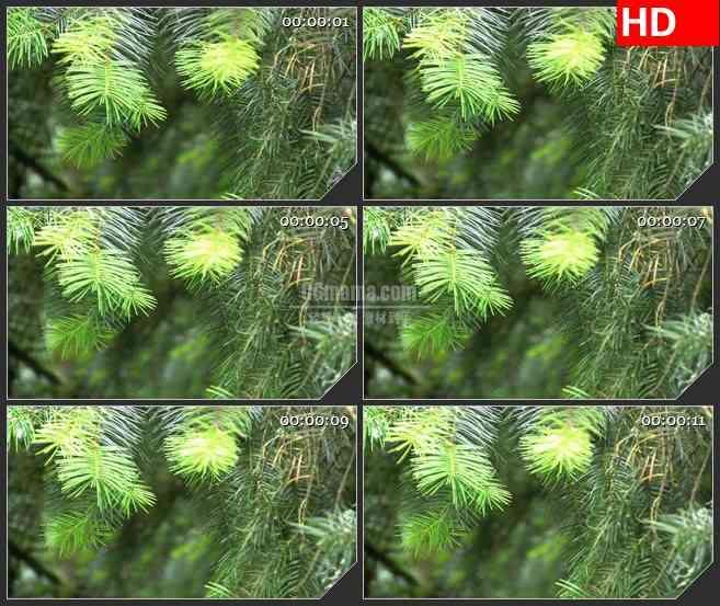 BG3939自然实景 松树led大屏背景高清视频素材