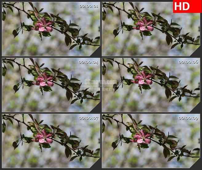 BG3940自然实景 一枝桃花led大屏背景高清视频素材