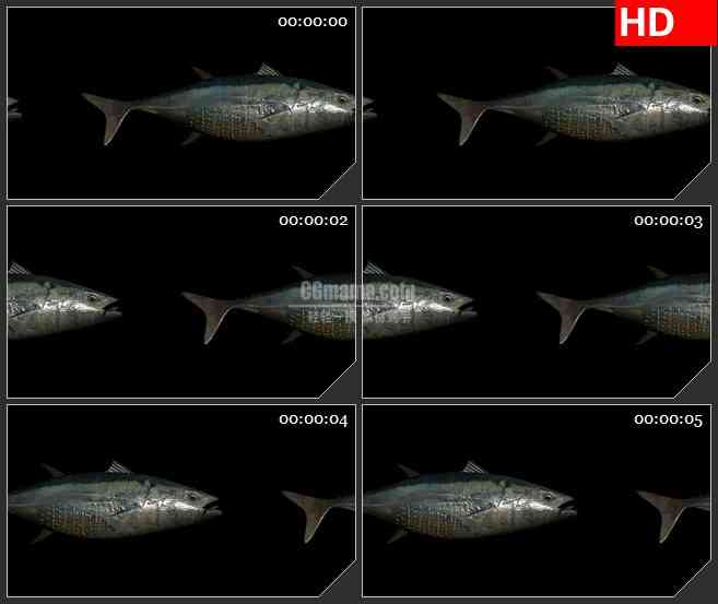 BG4258三维动画海鱼模型黑色背景带透明通道led大屏背景高清视频素材